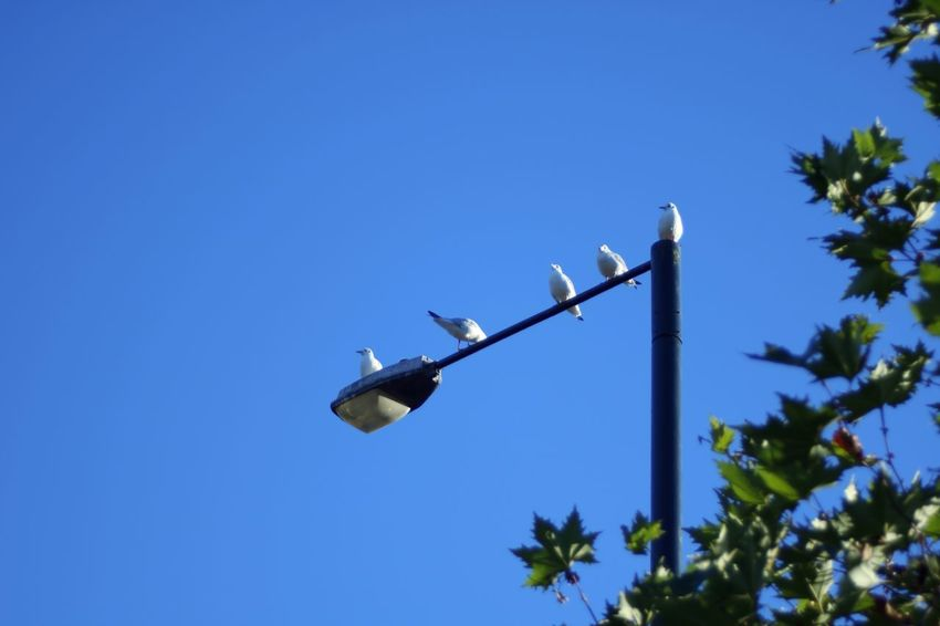 Low Angle View Clear Sky Blue Lighting Equipment No People Tree Outdoors Nature Day Streetlights Lamp Post Seagull Perching Tree Breathing Space