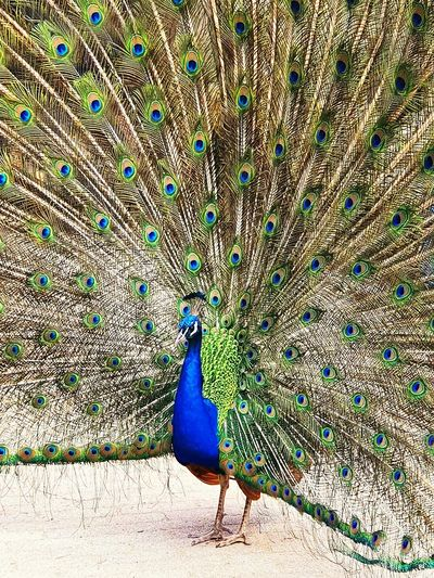 Peacock on a field