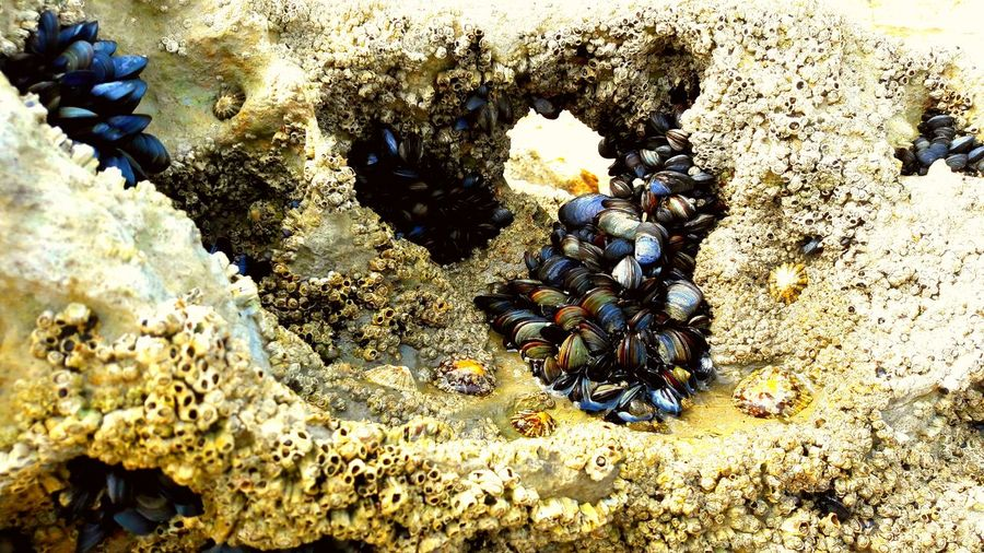 mussel Beach Sea Alicante, Spain Beachphotography Keep Calm And Always Smile Dawn Sea RockBeach Pebble Beach Coastline Landscape Waves, Ocean, Nature San Juan, Alicante, Spain Sea Life Beach Sand Sea Sunlight High Angle View Close-up Seashell Mussel Animal Shell Scallop Crustacean Mollusk Underwater Coral Seaweed UnderSea Turtle