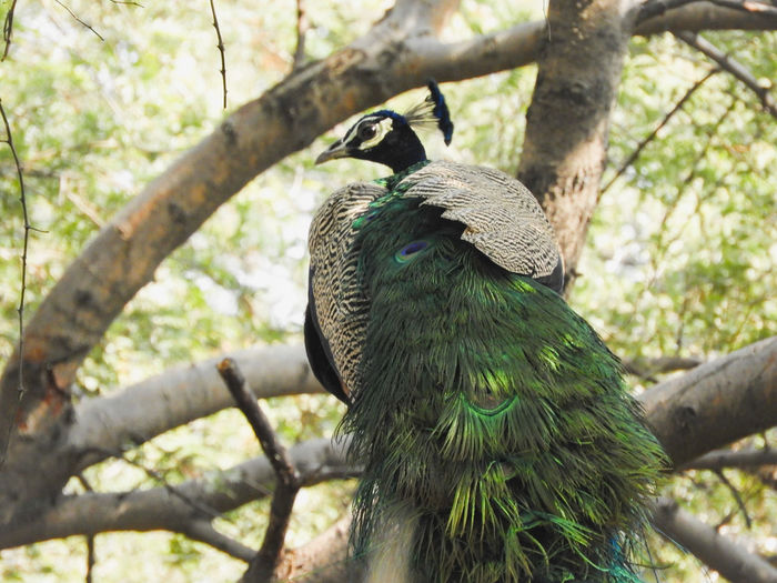 peacock Peacock Peafowl Male Male Bird Colourful India Indian National Bird Sitting Bird Perching Tree Branch Close-up Green Color Wildlife Avian Wild Animal Spread Wings Tree Trunk