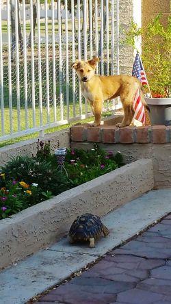 Puppy! Puppy American Flag Sulcata Tortoise