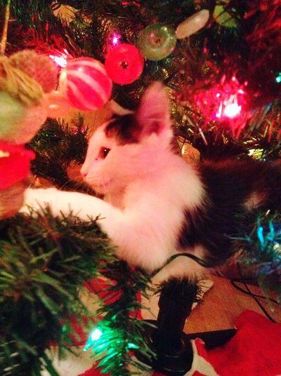 Christmas Kitten Miscief Kitten Christmas Christmas Tree Celebration Christmas Decoration Indoors  Christmas Ornament Animal Themes Pets One Animal Domestic Animals