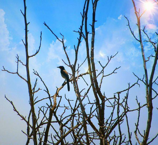 Birds🐦⛅ Scrubjay Bird Watching Bird Photography Bird Wildlife Sky And Clouds Single Bird Avian Beautiful Birds One Bird Bird In A Tree