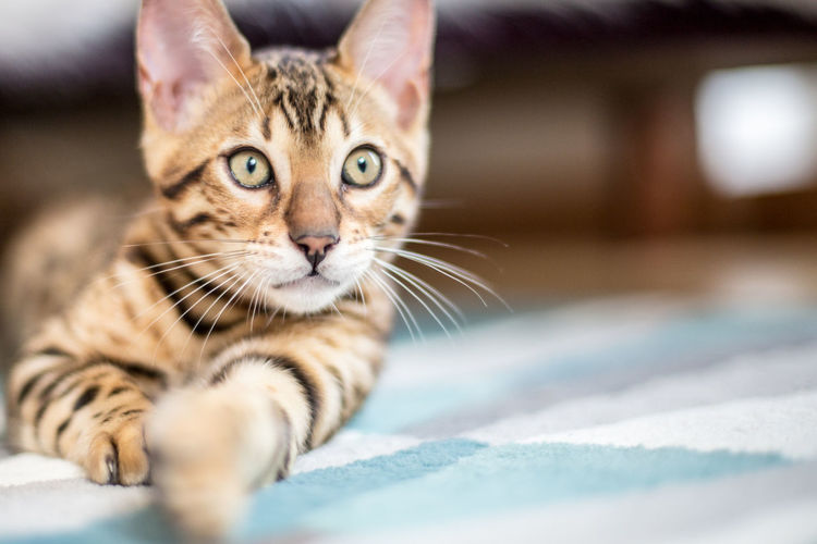 Animal Themes Bed Bengal Bengal Cat Bengals Cat Close-up Cute Domestic Animals Domestic Cat Feline Indoors  Kitten Looking At Camera Mammal No People One Animal Pets Portrait Spots Stripes Pattern Tabby Cat Tiger Whisker You