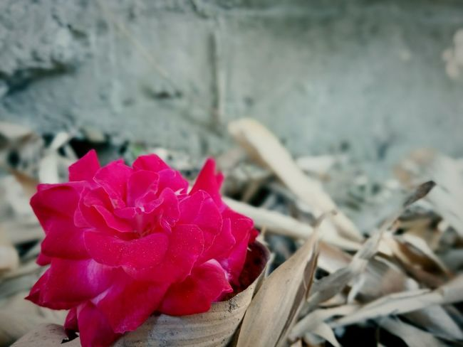 Rose🌹 Flower No People Red Close-up Pink Color Day Outdoors Flower Head Nature Fragility Freshness EyeEmNewHere Be. Ready. Focus On Foreground