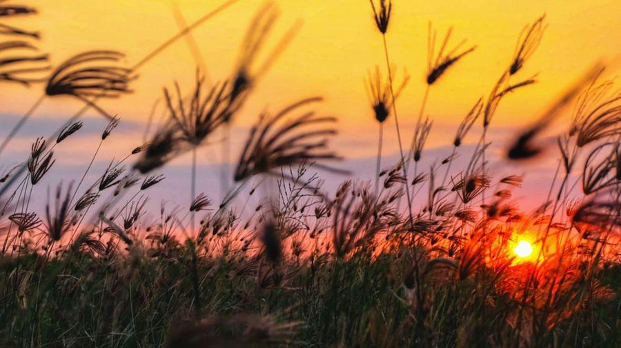 Close-up of stalks in field against orange sky