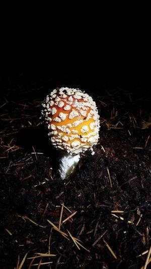 Mushroom midnight bloom
