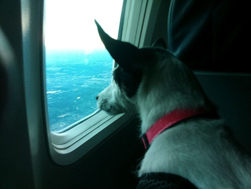 Traveling Home For The Holidays Airplane Traveling With My Dog Traveling With Pets Pets Domestic Animals Finding New Frontiers Dog Photography No People Air Travel  Flight One Animal Animal Themes Air Travel  First Flight Flying High
