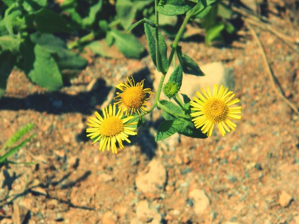 Flower Plant Nature Growth Fragility No People Flower Head Beauty In Nature Focus On Foreground Outdoors Close-up Leaf EyeEm EyeEm Nature Lover EyeEm Gallery EyeEm Flower