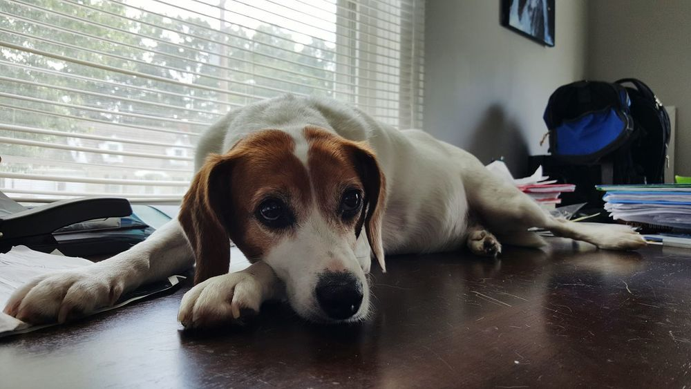 I gave up on trying to save this desk. Jack Russell Terrier Beagle Mix Jackabee Dog Sad Waiting Mellow Eyes Emotion Pets Office Desk Mess Pets Making A Mess Window Anticipation House Domestic Desktop View Perspective Louisville Kentucky  United States