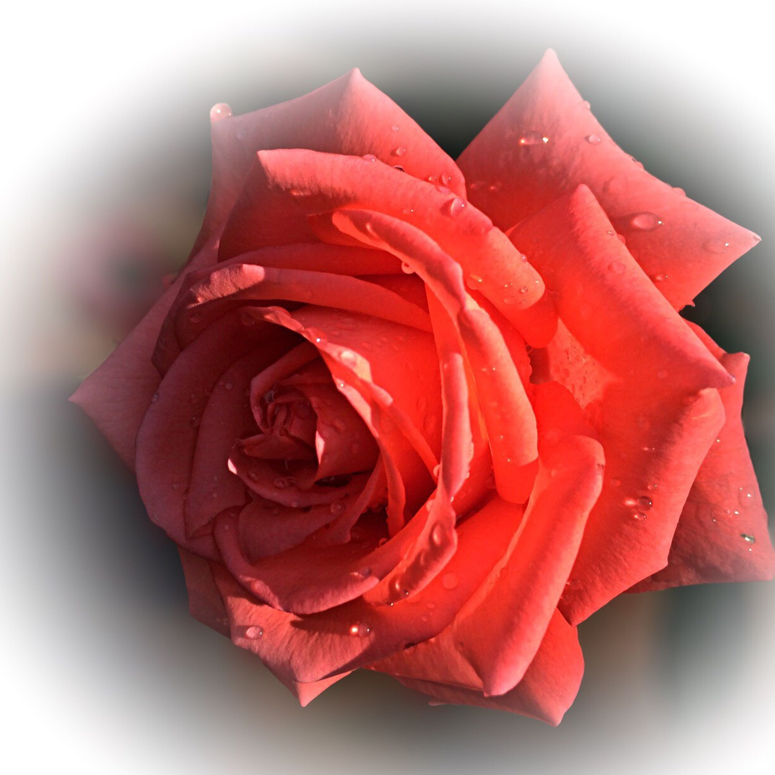 red, petal, flower, rose - flower, freshness, studio shot, flower head, close-up, fragility, single flower, rose, white background, drop, beauty in nature, single rose, wet, water, nature, no people, selective focus