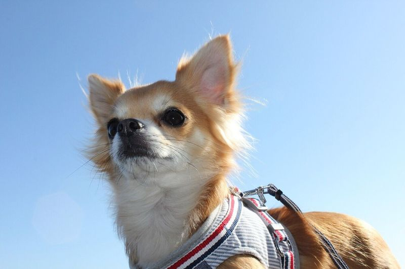 Low angle portrait of chihuahua