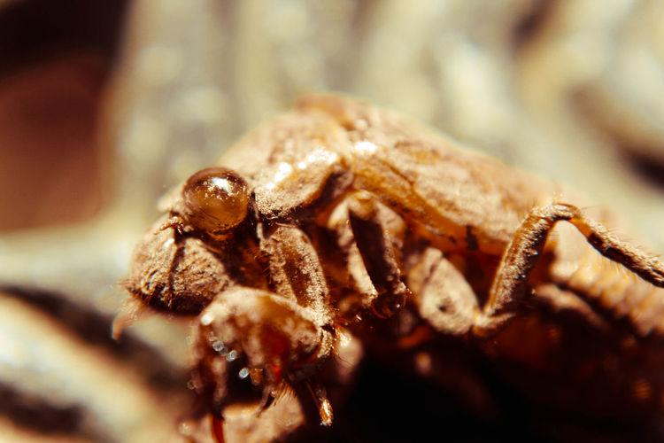 Close-up of dead cicada