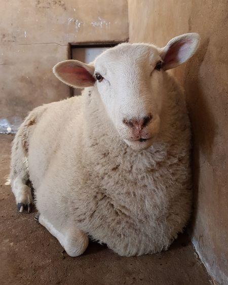 Animal Love Rescued Sheep Wool Friendnotfood Farm Santuary Country Barn Australia Animal Nose EyeEm Selects Close-up
