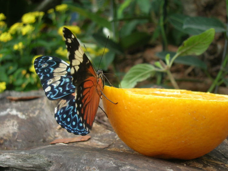 A colorful butterfly sipping the juice of an orange half in the Budapest Zoo's insect house. Animal Themes Animal Wing Beauty In Nature Butterfly Butterfly - Insect Close-up Drinking Focus On Foreground Insect Multi Colored Nature Orange Orange Color Sipping Sipping Nectar Vibrant Color Wildlife Zoo Life