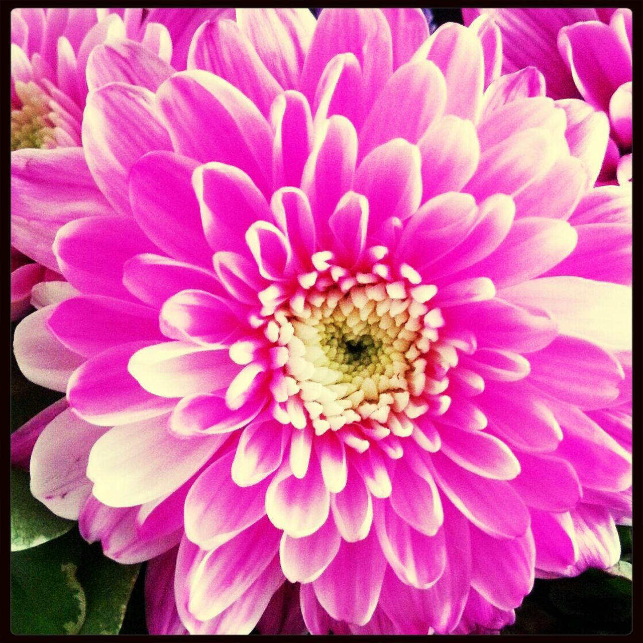 Close-Up Of Pink Dahlia Flower