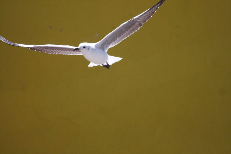 Close-Up Of Seagull Flying Against Wall