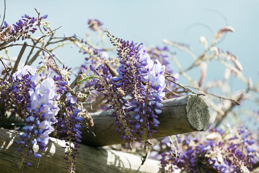 Beauty In Nature Blossom Branch Close-up Day Flower Flower Head Flowering Plant Fragility Freshness Growth Lavender Nature No People Outdoors Petal Plant Purple Springtime Tree Vulnerability