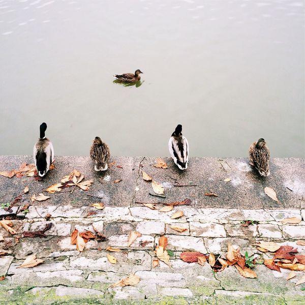 Mallard ducks sitting by water Ducks Mallard Ducks Sitting Water Duck River Lake Water Fowl Fowl Wild