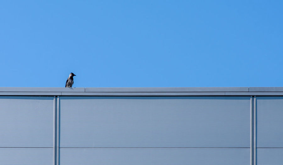 Low angle view of bird against building against clear blue sky