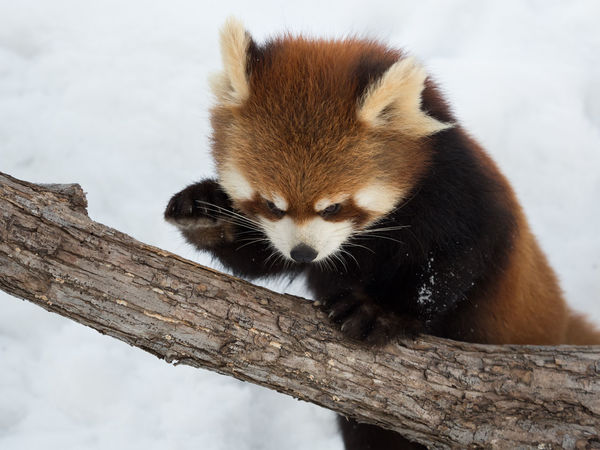 Ailurus Fulgens Animal Themes Animal Wildlife Animals In The Wild Day Mammal Nature No People One Animal Outdoors Red Panda Redpanda Wood Wood - Material Zoo