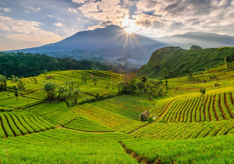 Beautiful pattern of Argapura onion field ASIA INDONESIA Java Agriculture Argapura Argentina Beauty In Nature Farm Field Growth Land Landscape Majalengka Mount Mountain Nature Onion Outdoors Plant Plantation Sun Sunrise