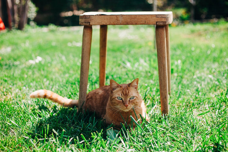 Portrait of ginger cat lying on grass