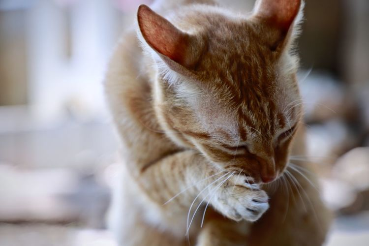 Cat Mammal Domestic Cat Domestic Feline Animal Pets Animal Themes One Animal Domestic Animals Close-up Vertebrate Focus On Foreground Whisker No People Looking Animal Body Part Eyes Closed  Relaxation Looking Away Animal Head  Mouth Open Ginger Cat Tabby