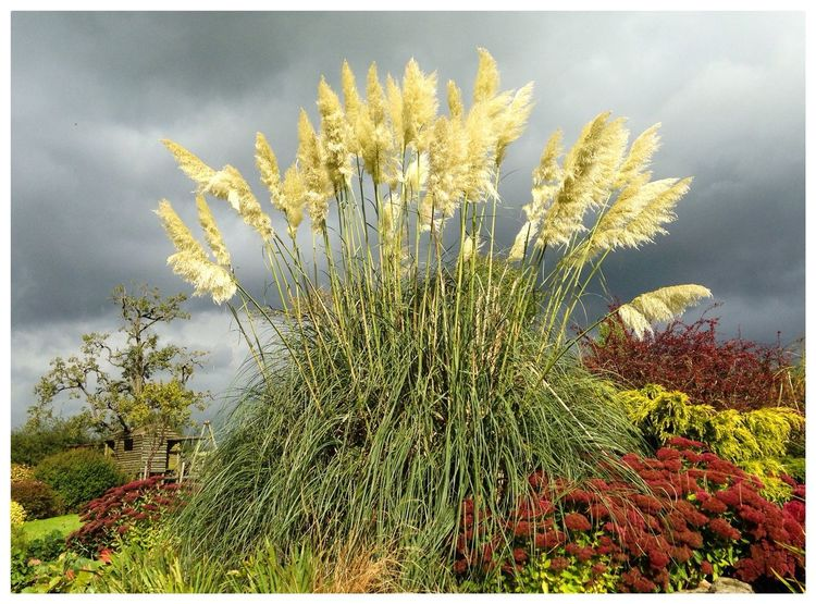 Pampas Grass standing tall in Sunshine against the Rain Clouds IPhoneography