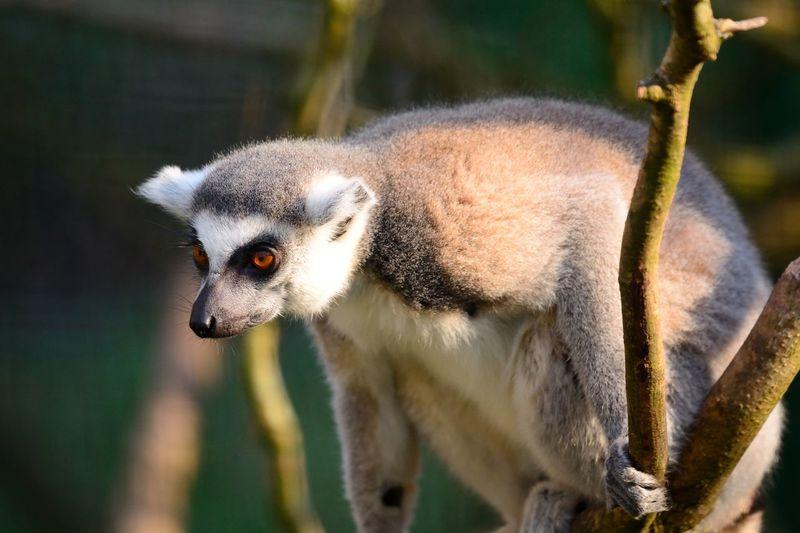 Close-up of alert lemur looking away