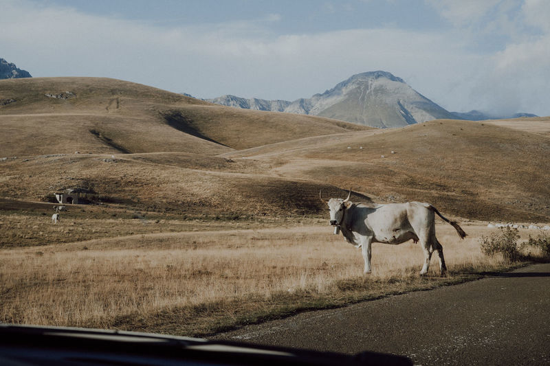 Horse in a car