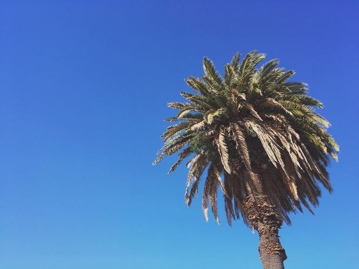 Palm Trees Palm Tree California Treasure Island Avenue Of Palms