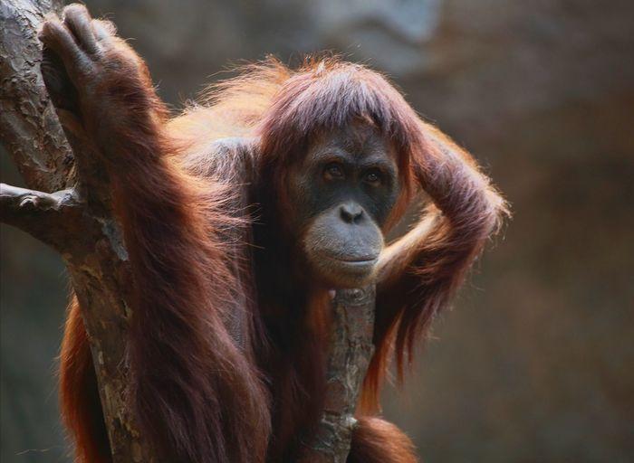 Close-up of orangutan on tree