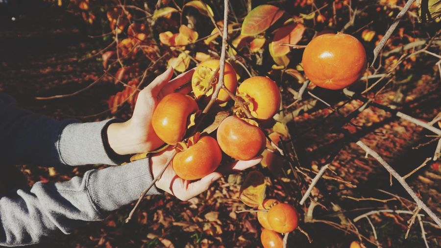 Close-up of hand holding fresh persimmons on tree