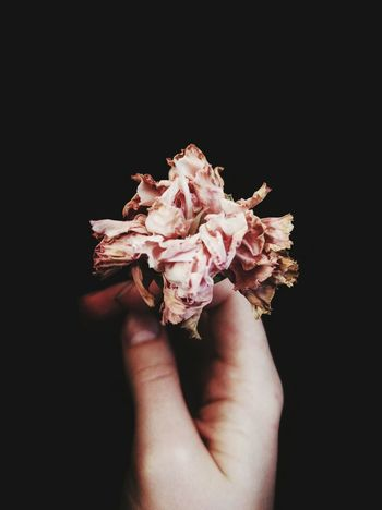 Flower Holding Fragility Petal Flower Head Personal Perspective Dead Plant