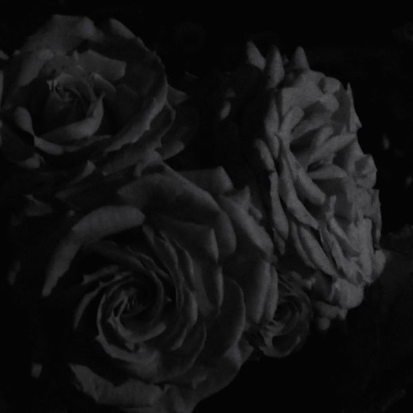 Rose - Flower Rosé Rosengarten Nuit Noir Nightphotography Darkness And Light Night Fall Blackandwhite Beauty In Nature Fragility Flower Head Close-up Detail Floral Darkness Lowkey  薔薇 夜の闇 Low Light Low Light Photography