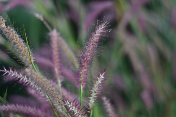 Grass Botany Flowering Plant Pink Color Green Color Outdoors Flower Day No People Selective Focus Nature Growth Plant Vulnerability