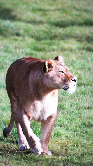 Walking Lioness
