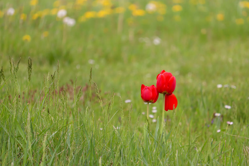 Red poppy flower on field
