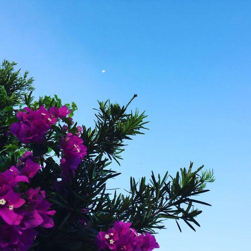 ブーゲンビリア。 今朝の月 ブーゲンビリア イヌマキの木 Sky Flower 宮古島 明け方