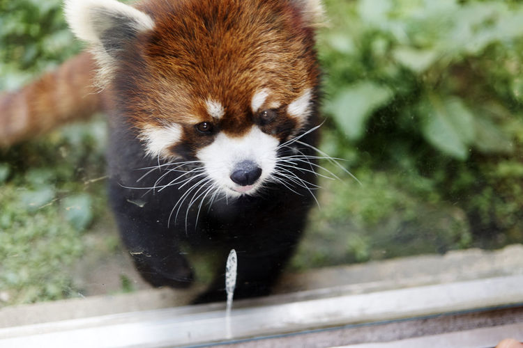 A6000 Close-up Cute Mammal One Animal Red Panda Zeiss32mmf18