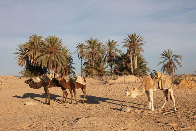 Camels in desert against sky on sunny day