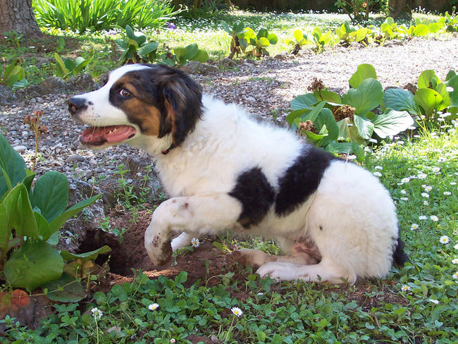 Guilty young dog Animal Themes Caught Caught In The Act Dog Dog Digging A Hole Domestic Animals Half-breed Dog Portrait Lying Down Mut Dog Portrait Pets Relaxation Sitting Tricolor Dog Young Half-breed Dog Young Half-breed Dog Portrait Young Mut Dog