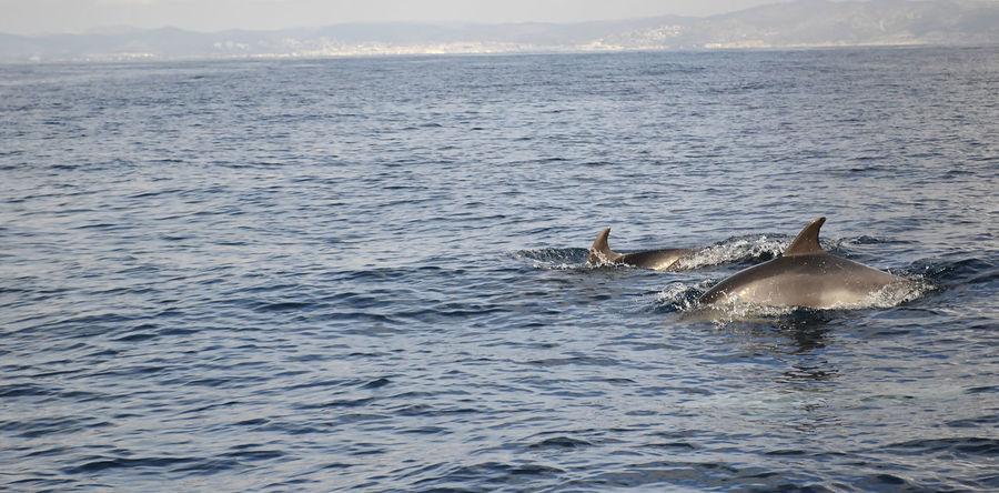 Delfin Delfines  Delfines Mulares Mar Mediterráneo Sitges Vilanova I La Geltru