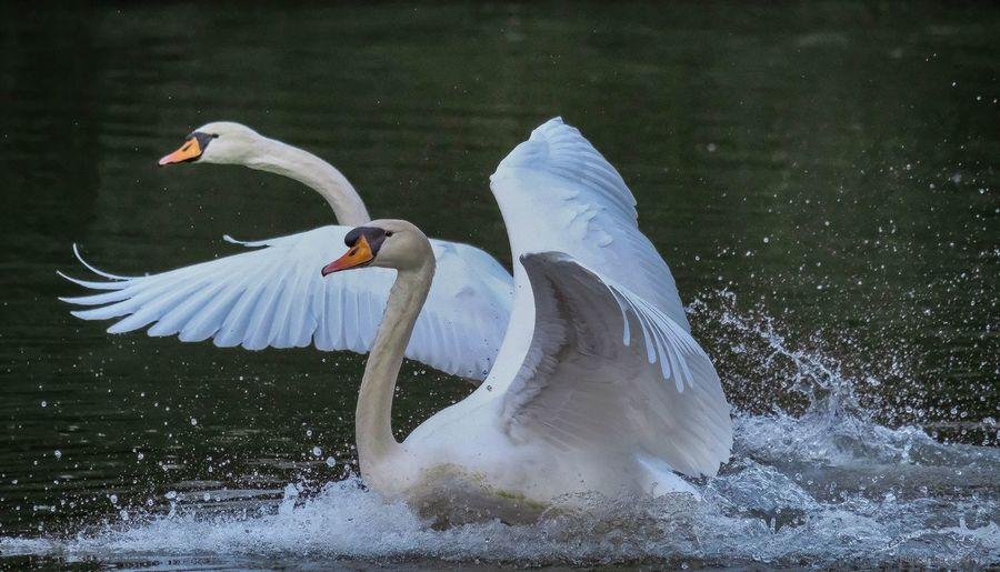Water Bird Animal Themes Animal Animals In The Wild Vertebrate Animal Wildlife