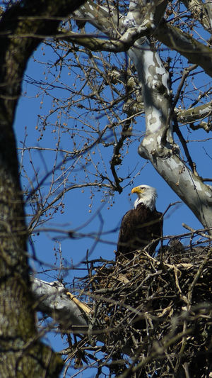 Defender of Innocence. Eagle Bald Eagle Eaglet Baby Birds Bird Nest Bird Of Prey Carnivore Wildlife Wildlife & Nature Animal Animals EyeEm Nature Lover Eagles Mother Motherhood Pride Proud Protecting Where We Play Showcase April Blue Sky Trees And Sky Trees The Great Outdoors With Adobe