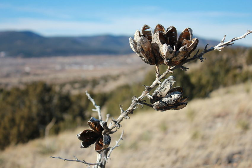 Dried Yucca Flower Eastern, NM Beauty In Nature Cactus Dead Plant Dried Plant Focus On Foreground Mountains And Sky Nature Rural Scene Southwest  Yucca