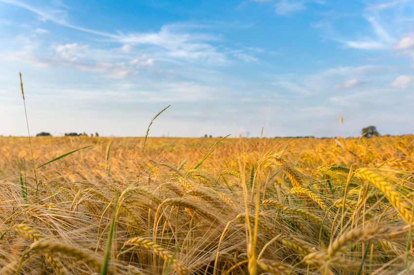 Rays of Sun falls on a Field with Cereals Agriculture Beauty In Nature Blue Sky Cereal Crop  Dried Farming Farmland Fresh Golden Growing Growth Harvesting Morning Light Plants Season  Sunlight Sunshine Rural Season  Cornfield Countryside Feld Landschaft Nature