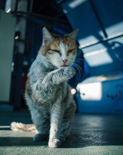 The dirty cat Preset AdobeLightroom Adobe Canon5dmk2 Canonphotography Analoglens 28mm Domestic Cat Pets Domestic Animals One Animal Animal Themes Mammal Feline Whisker Focus On Foreground Indoors  No People Full Length Sitting Day Close-up