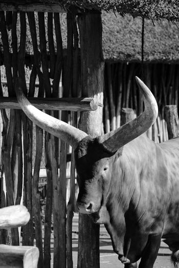 Watussirind Watussirind Ankolerind Bos Primigenius Taurus Bos Taurus Bos Taurus Indicus Rind Animal Animal Themes Mammal One Animal Vertebrate No People Domestic Animals Day Wood - Material Barrier Boundary Fence Animal Wildlife Pets Domestic Nature Standing Livestock Railing Built Structure The Portraitist - 2019 EyeEm Awards My Best Photo